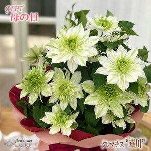 母の日 ギフト クレマチス 華川 5号鉢 送料無料 贈り物 プレゼント 花 鉢植え 母の日2021