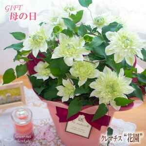 母の日 ギフト クレマチス 花園 5号鉢 送料無料 贈り物 プレゼント 花 鉢植え 母の日2021