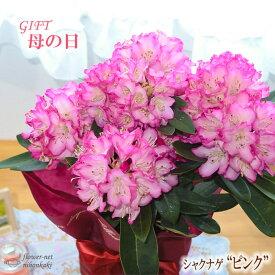 まだまだ間に合う母の日 ギフト シャクナゲ 母の日 贈り物 プレゼント 石楠花 花 鉢植え 5号鉢 送料無料 母の日2021