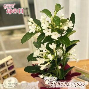 母の日 ギフト マダガスカルジャスミン 4号鉢 送料無料 贈り物 プレゼント 花 鉢植え 母の日2021