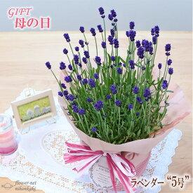早割 母の日 ギフト ラベンダー 母の日 プレゼント 5号鉢 送料無料 花 鉢植え 母の日2021