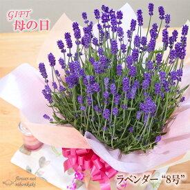 早割 母の日 ギフト ラベンダー 母の日 プレゼント 8号鉢 送料無料 花 鉢植え 母の日2021