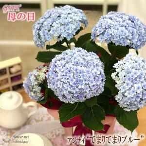 まだまだ間に合う母の日 ギフト アジサイ てまりてまりブルー 母の日 贈り物 プレゼント あじさい 紫陽花 花 鉢植え 5号鉢 送料無料