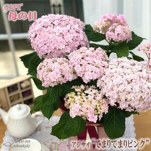 まだまだ間に合う母の日 ギフト アジサイ てまりてまりピンク 母の日 贈り物 プレゼント あじさい 紫陽花 花 鉢植え 5号鉢 送料無料