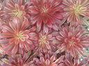 アエオニウム サンシモン バイオレット 多肉植物