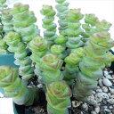 クラッスラ 多肉植物