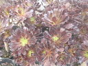 クロホウシ・ 多肉植物