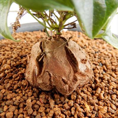 os亀甲竜(キッコウリュウ)おもしろ多肉植物