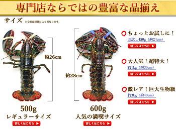 天然活オマール海老(500g)5尾入
