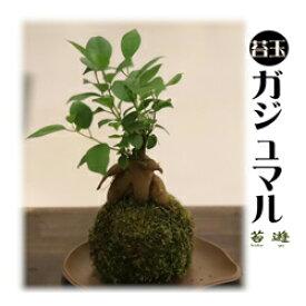 苔遊のガジュマル苔玉!! 苔遊  苔玉 ガジュマル 秋葉区 新潟