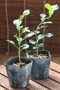 コブミカン【バイマックル】の苗 9cmポット植え2本セット