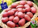 【種ジャガイモ・種いも】フレンチポテト「レッドカリスマ」の種じゃがいも 約500g入