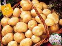 【種ジャガイモ・種いも】フレンチポテト「サッシー」の種じゃがいも 約500g入【春ジャガイモ用12月〜2月中旬発送】