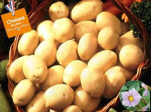 【種ジャガイモ・種いも】フレンチポテト「チェルシー」の種じゃがいも 約500g入【春ジャガイモ用12月上旬〜2月下旬発送】