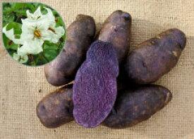 【種ジャガイモ・種いも】「シャドークイーン」の種じゃがいも 約500g入【春ジャガイモ用12月〜2月中旬発送】