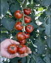 トマト名人 坂本さんのフルーツトマト 9cmポット苗【2本セット】〜4月下旬頃発送分予約〜