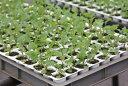 【香味菜】ケールッコラ 128穴セル苗【受注生産:受注より約1ヶ月後出荷】