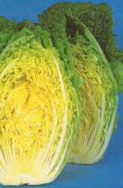 黄将白菜 9cmポット苗 お買い得4本セット 【9月10日頃から出荷】【はくさい・ハクサイ】