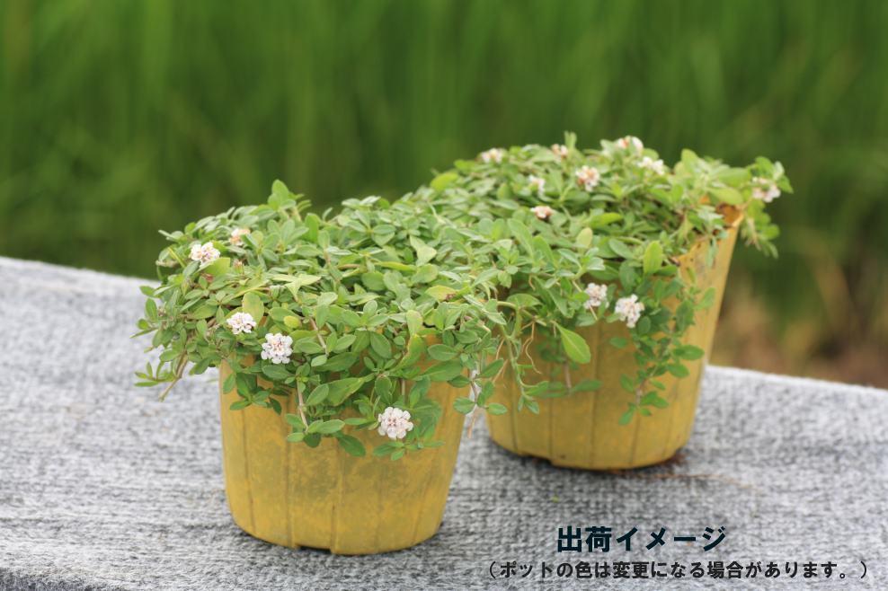 【3月13日以降出荷】クラピアk7(白花) 9cmポット苗