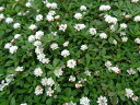 <新品種> クラピアk7(白花) 9cmポット苗 24本セット【送料無料】