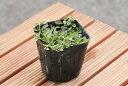 <新品種> クラピアk7(白花) 9cmポット苗
