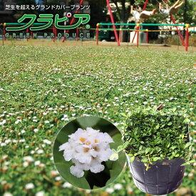 【感謝フェア開催中】「クラピア K7 (40本セット)」(花色:白) 9cmポット苗【農場直送につき同梱不可商品】【送料込】