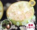 フィンガーライム(茶・ブラウン系) 13.5cmポット苗(地上部約50cm)【3月上旬発送】
