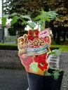 トマト革命!! 秋トマトの苗 お買い得4本セット【7月中旬より発送分予約】