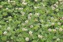 カバークロップのたね 「ホワイトクローバー(シロクローバー・白クローバー) 1kg入」【春】【秋】 【宅配便対応】