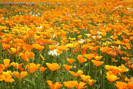 ワイルドフラワー 景観植物のたね「ハナビシソウ(カリフォルニアポピー)」1dL 【郵送対応】
