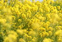 菜の花の種子 1kg【宅配便対応】
