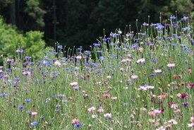 ワイルドフラワー 景観植物のたね「矢車草混合(ヤグルマソウ、やぐるまそう、ヤグルマギク)」10mL(約1,000粒)【郵送対応】