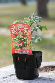 ドワーフトマト プリティーベル 9cmポット苗