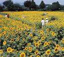 カネコ種苗 景観用ひまわり ハイブリッドサンフラワー 200g 【宅配対応】