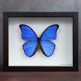 送料無料 昆虫標本箱(ドイツ箱)製造30年の実績 ドイツ箱モルフォ蝶2頭入れ