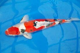 錦鯉観賞魚ドイツ大正三色54cm