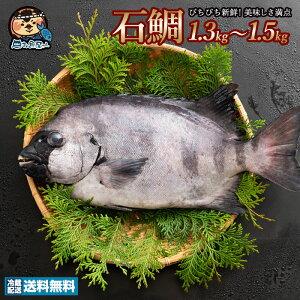 イシダイ 石鯛 (生) 1尾 約1kg〜1.5kg 天然 香川県産 神経抜き 冷蔵 [送料無料 鮮魚 いしだい 白身 魚 刺身 ] グルメ