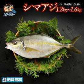 シマアジ (生) 1尾 約1.2kg〜1.6kg 神経抜き 香川県産(養殖) 冷蔵 [送料無料 鮮魚 しまあじ お寿司 贈答 魚 刺身 ] グルメ