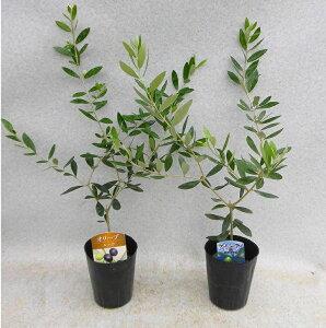 オリーブ苗木 おまかせ2本(2種)セット 3.5号ロングポット 全高約40センチ