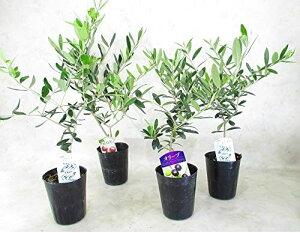 オリーブ苗木 おまかせ4本(4種)セット 3.5号ロングポット 全高約40センチ