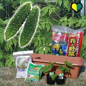 【送料無料】グリーンカーテン栽培セットゴーヤ苗2本付き【ゴーヤの緑のカーテンスタンダードセット】プランターとネットと肥料も付いたお得なセット♪