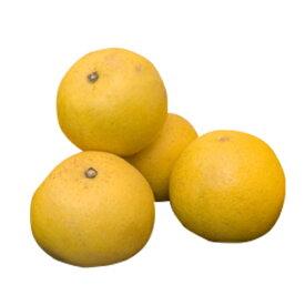 柑橘類の苗 【 土佐文旦 ( とさぶんたん ) 2年生苗木 】 [ 雑柑 オレンジ かんきつ カンキツ 柑橘 苗 ]