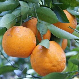 柑橘類の苗 【 ポンカン 2年生苗木 】 [ 雑柑 オレンジ かんきつ カンキツ 柑橘 苗 ]