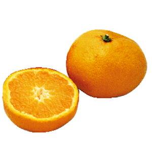 柑橘類の苗 【 紅ばえ 2年生苗木 】 [ 雑柑 オレンジ かんきつ カンキツ 柑橘 苗 ] 【10P20Sep14】