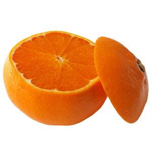 柑橘類の苗 【 せとか 2年生苗木 】 [ 雑柑 オレンジ かんきつ カンキツ 柑橘 苗 ]