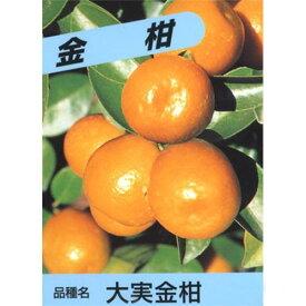 柑橘類の苗 【 大実金柑 1年生苗木 】[ 雑柑 キンカン かんきつ カンキツ 柑橘 苗 ]