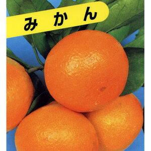 柑橘類の苗 【 青島温州みかん 2年生苗木 】 [ みかん ミカン 蜜柑 かんきつ カンキツ 柑橘 苗 ]