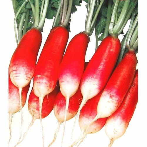 廿日大根 種 【紅白】 小袋(約10ml) ( 種 野菜 野菜種子 野菜種 )