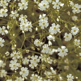 かすみ草 種 【 コベントガーデン 】 小袋 ( かすみ草の種 花の種 )