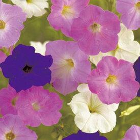 ペチュニア 種 【 高性一重咲混合 】 小袋 ( ペチュニアの種 花の種 )